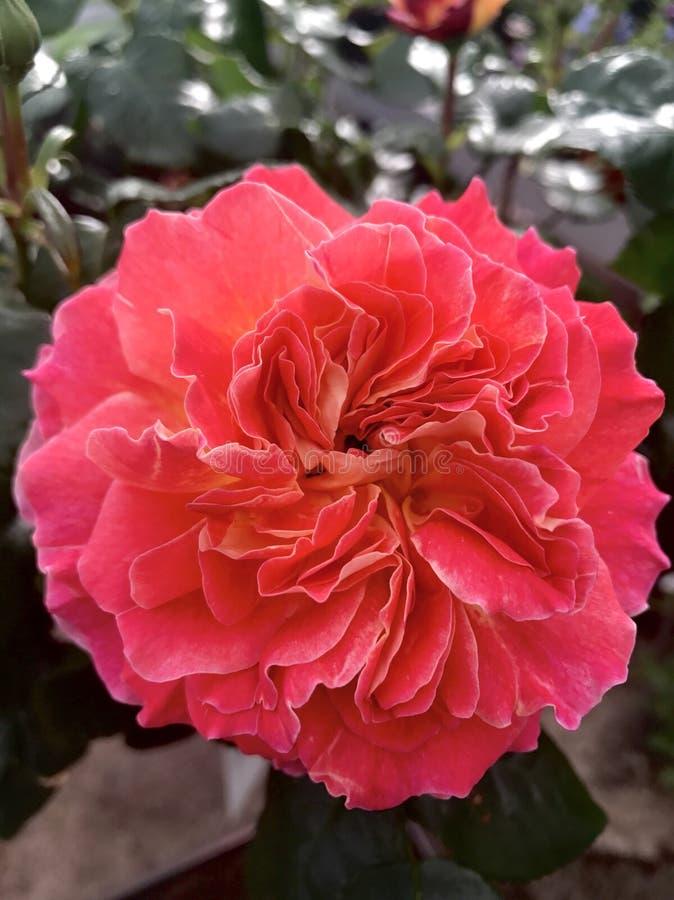 Sunset rose royalty free stock image
