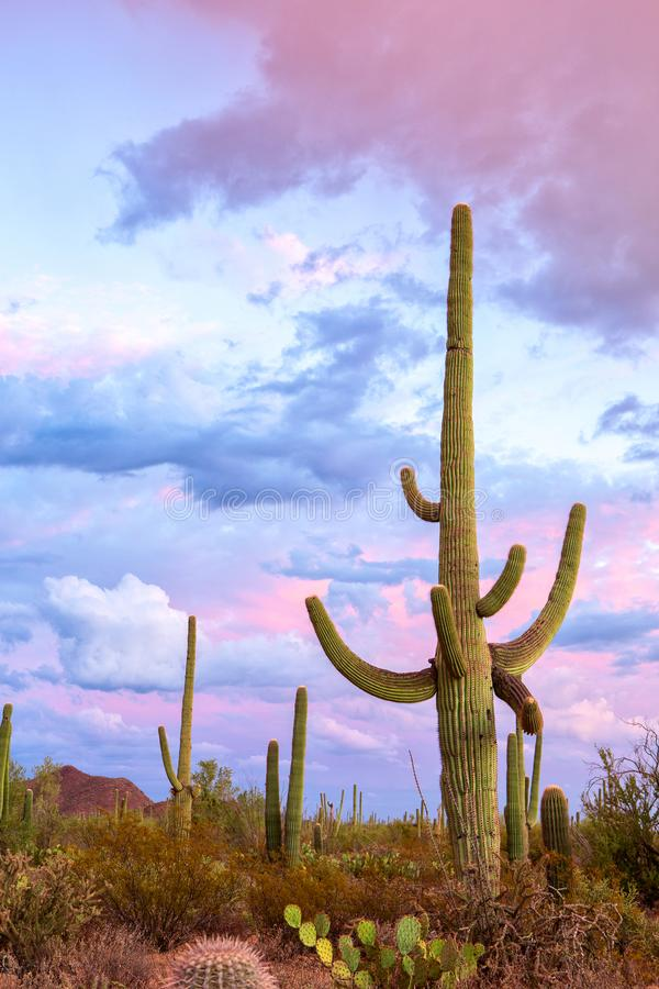 Sunset in the Saguaro National Park, near Tucson, southeastern Arizona, United States. Big Saguaro cactus. Carnegiea gigantea stands out against an evening sky stock photo
