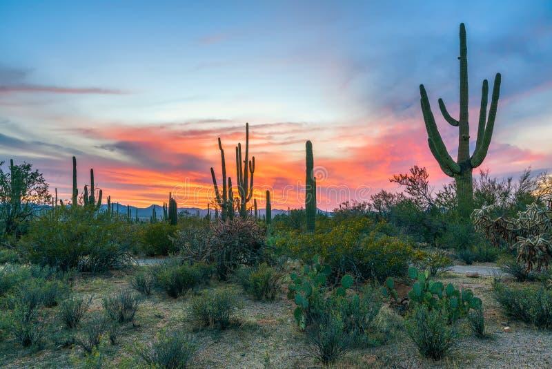 Sunset in Saguaro National Park with Saguaros in the foreground.Arizona.USA stock photos