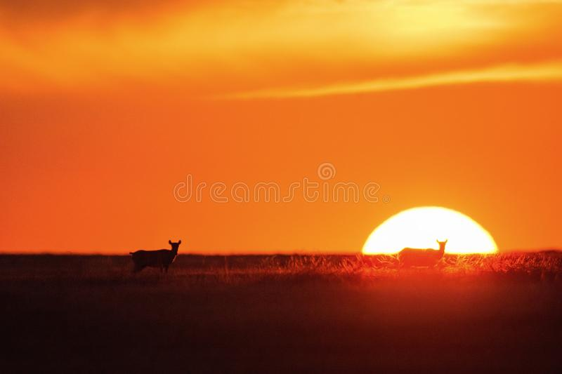 Sunset Saiga tatarica is listed in the Red Book. Chyornye Zemli Black Lands Nature Reserve, Kalmykia region, Russia stock photos