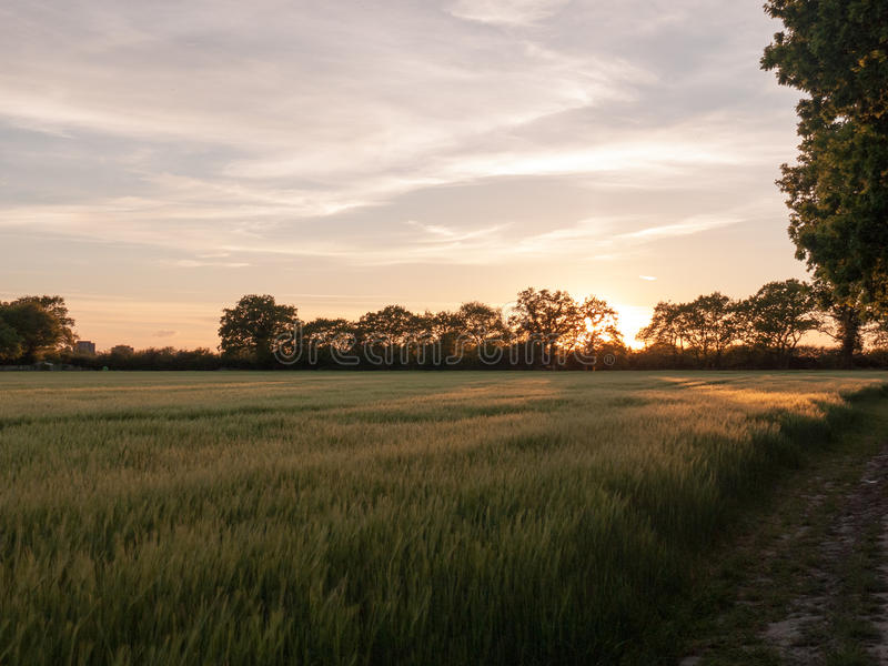 a sunset scene outside in a farm field of green crop and a golden hue and wonderful vibrant colours that are serene natural and p royalty free stock photo