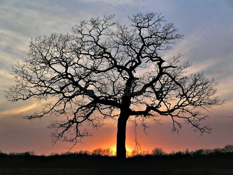 Sunset Silhouette. Oak tree at sunset royalty free stock photos