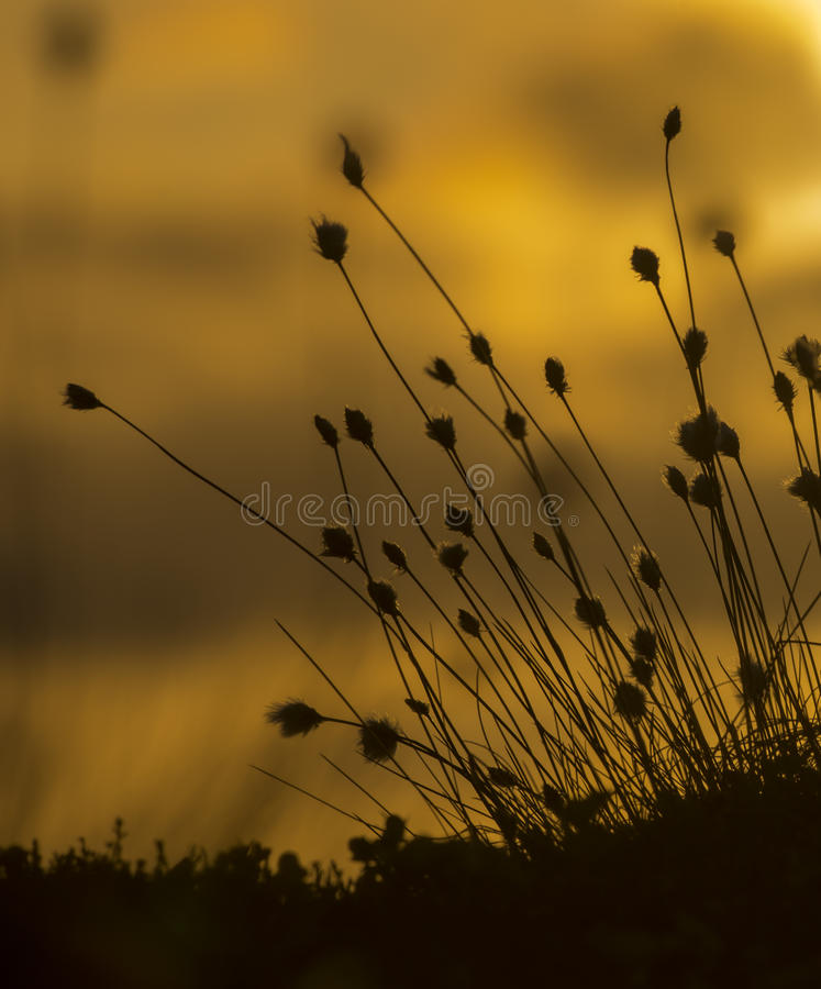 Sunset. Silhouette of the plants in sunset stock photo