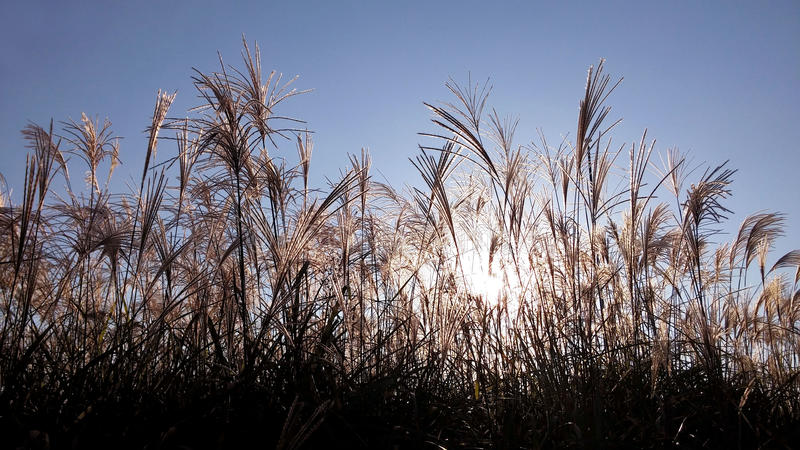 At sunset the silhouette of a reed. common under the sun royalty free stock photo