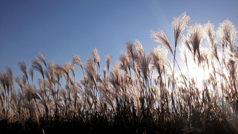 At sunset the silhouette of a reed. common under the sun. Common reed under the sun royalty free stock photo