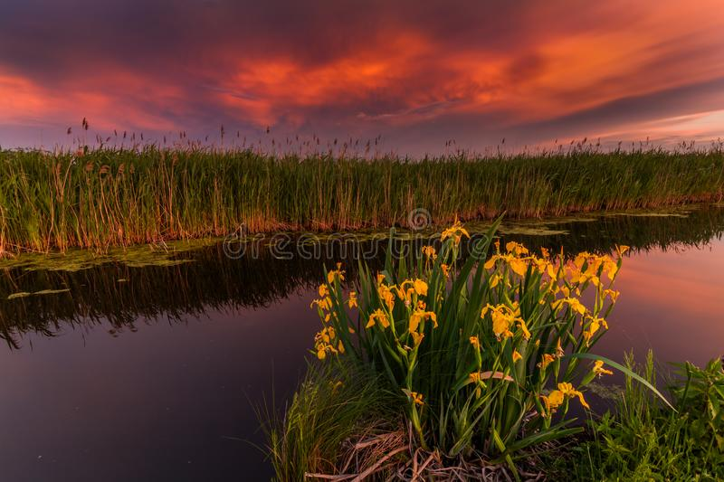 Sunset on a small river. Flowering wild yellow irises. Evening view stock images