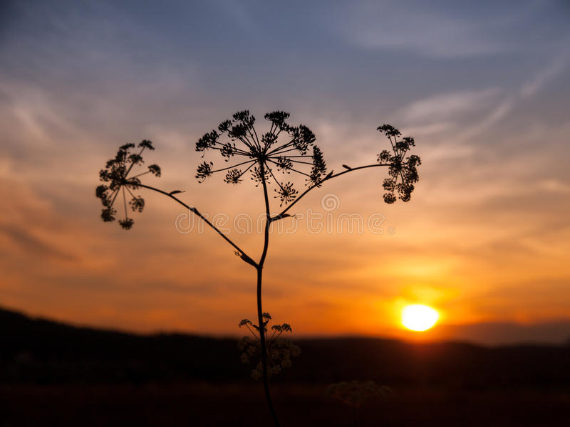 Sunset with solhouette of hogweed royalty free stock photography