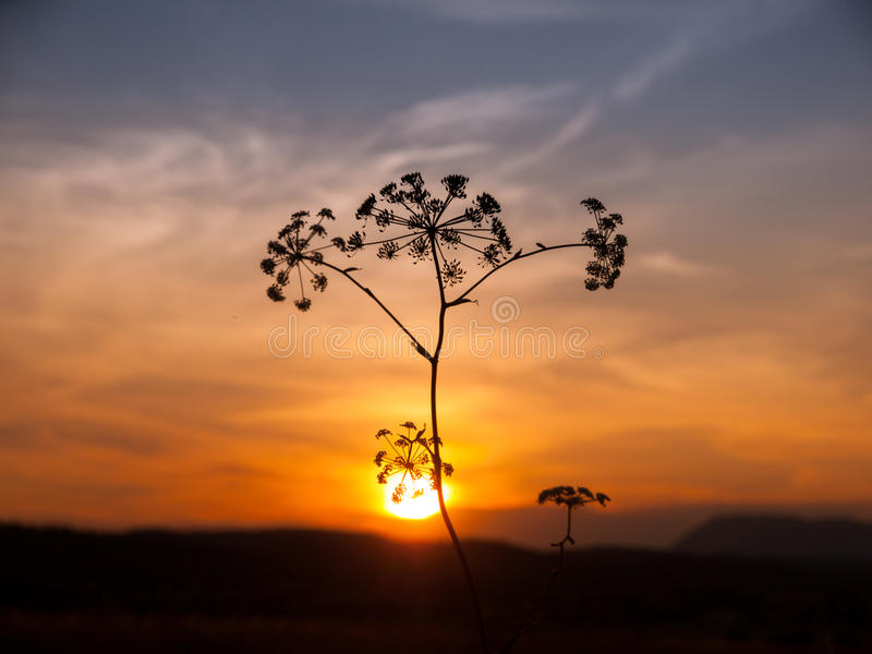 Sunset with solhouette of hogweed. Plant, Heracleum sphondylium stock photos
