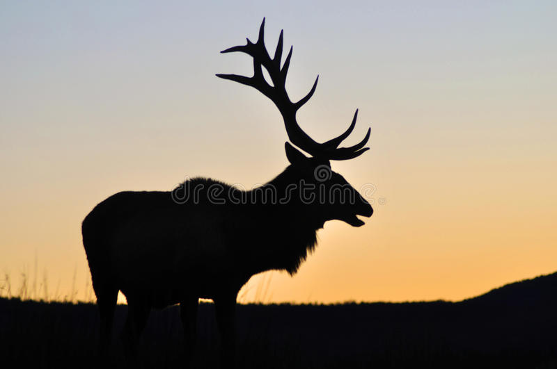 Sunset stag. Red deer stag at sunset, West Coast, South Island, New Zealand royalty free stock images