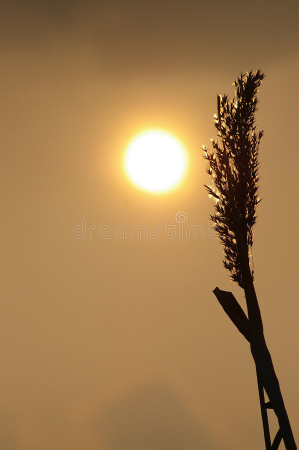 Download Sunset stalk stock image. Image of farm, afternoon, autumn - 492469
