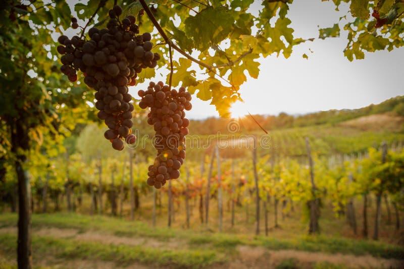Sunset summer mature grape vineyard field detail stock photo
