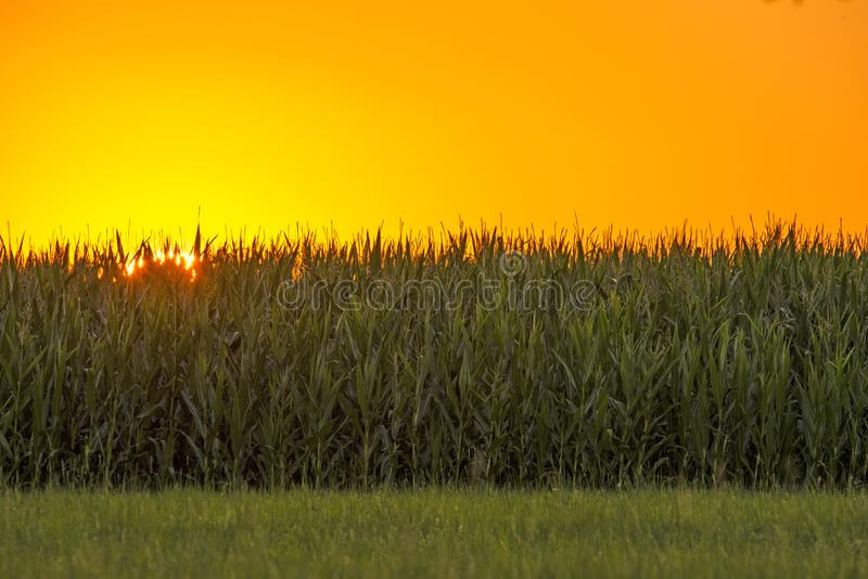 Sunset in summertime with field of corn stock photo