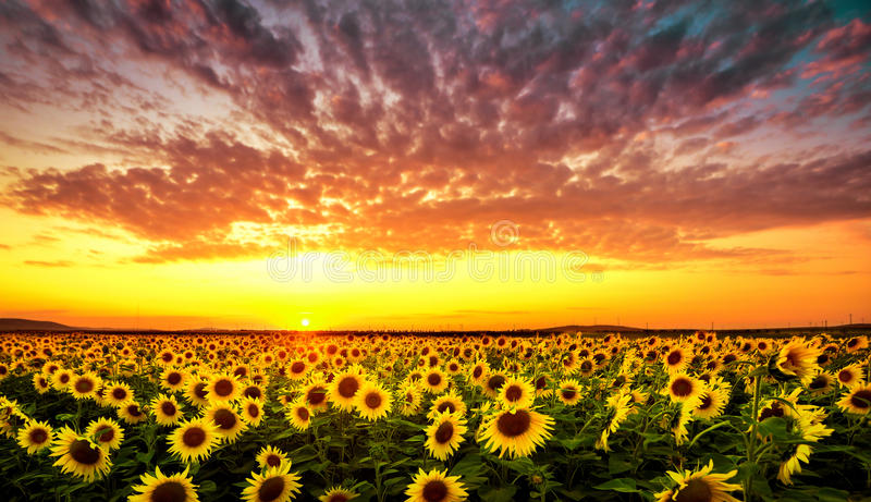 Sunset with sunflower stock image