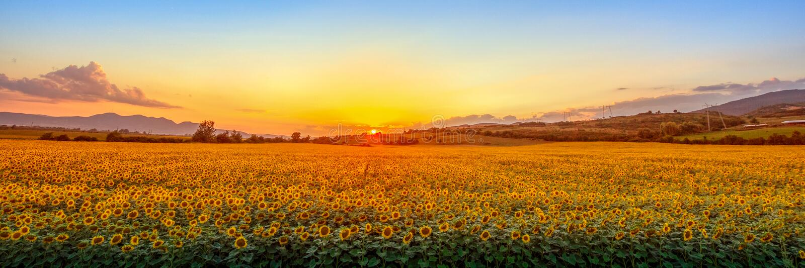Sunset with sunflower field stock images