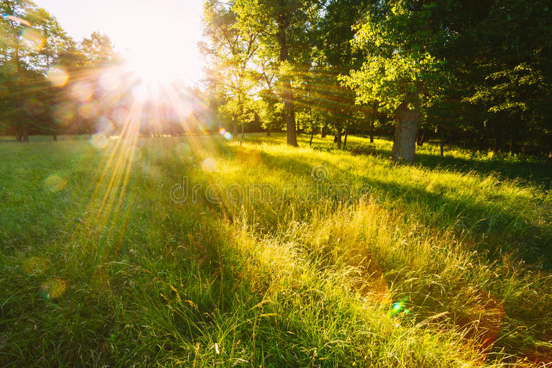 Sunset Or Sunrise In Forest Landscape. Sun Sunshine With Natural. Sunlight And Sun Rays Through Woods Trees In Summer Forest. Beautiful Scenic View. Natural stock image