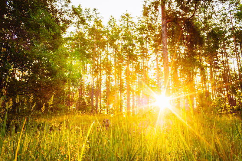Sunset Or Sunrise In Forest Landscape. Sun Sunshine With Natural. Sunlight And Sun Rays Through Woods Trees In Summer Forest. Beautiful Scenic View stock photo