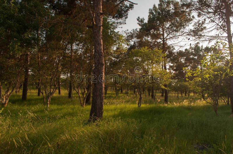 Sunset Or Sunrise In Forest Landscape. Sun Sunshine With Natural Sunlight And Sun Rays Through Woods Trees In Summer Forest. Beaut. Iful Scenic View. Nature of stock photos