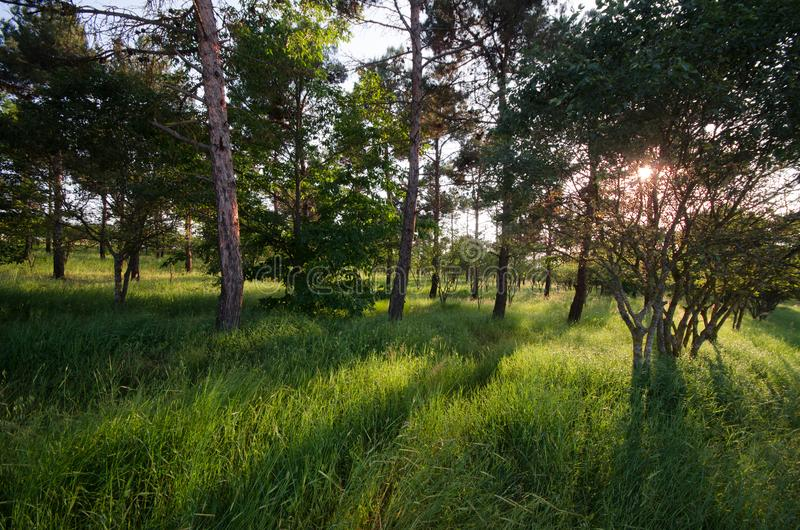 Sunset Or Sunrise In Forest Landscape. Sun Sunshine With Natural Sunlight And Sun Rays Through Woods Trees In Summer Forest. Beaut. Iful Scenic View. Nature of royalty free stock photos