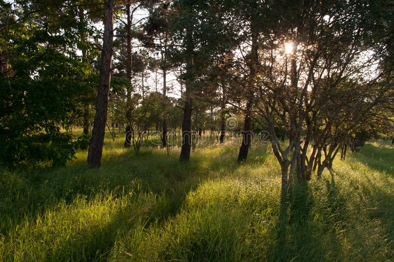 Sunset Or Sunrise In Forest Landscape. Sun Sunshine With Natural Sunlight And Sun Rays Through Woods Trees In Summer Forest. Beaut. Iful Scenic View. Nature of royalty free stock photo
