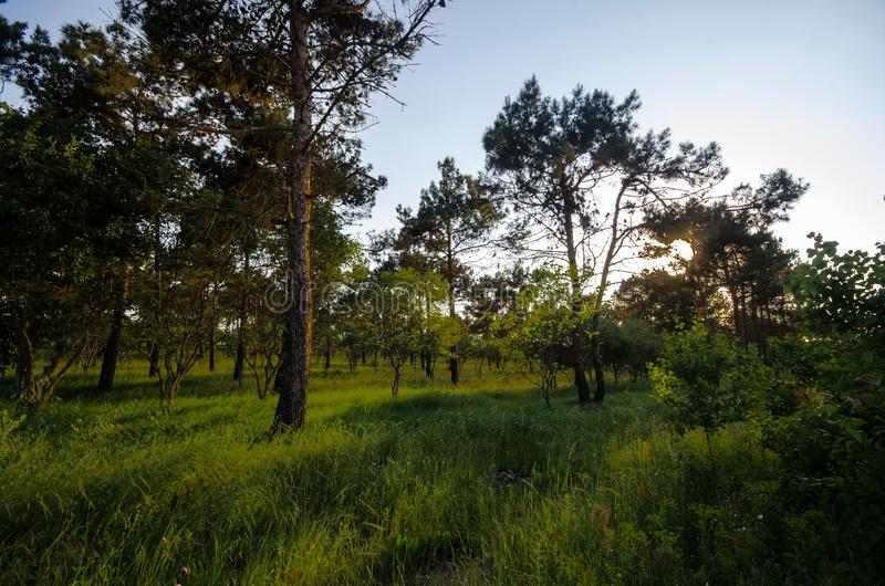 Sunset Or Sunrise In Forest Landscape. Sun Sunshine With Natural Sunlight And Sun Rays Through Woods Trees In Summer Forest. Beaut. Iful Scenic View. Nature of stock image