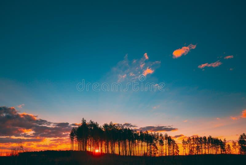 Sunset Sunrise In Pine Forest Sun Sunshine En Sunny Conifers Forest Sunlight Shine A Través De Los Bosques En Paisajes Bajo El Pa foto de archivo