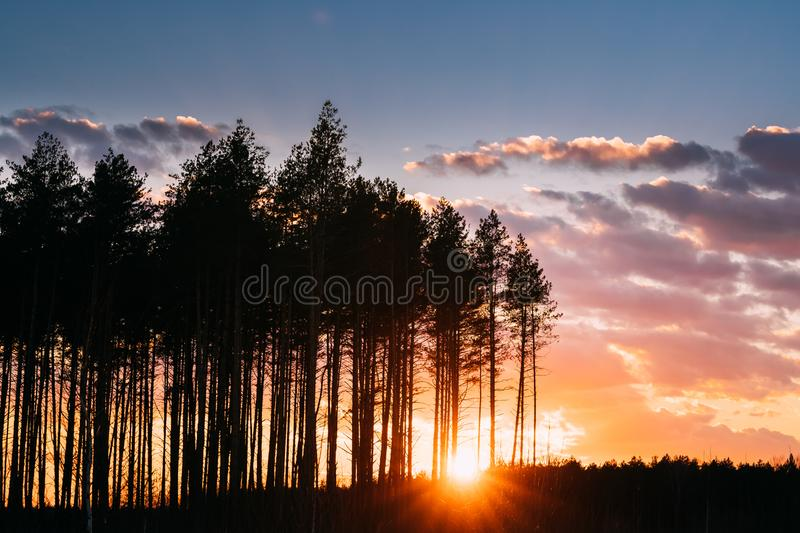 Sunset Sunrise In Pine Forest. Sun Sunshine In Sunny Spring Coniferous Forest. Sunlight Sun Rays Shine Through Woods In. Landscape  Bright Colorful Dramatic Sky stock photos