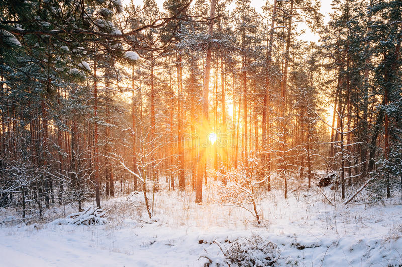 Sunset Or Sunrise In Snowy Forest Landscape. Sun Sunshine With N. Atural Sunlight And Sun Rays Through Woods Trees In Winter Forest. Beautiful Scenic View stock images