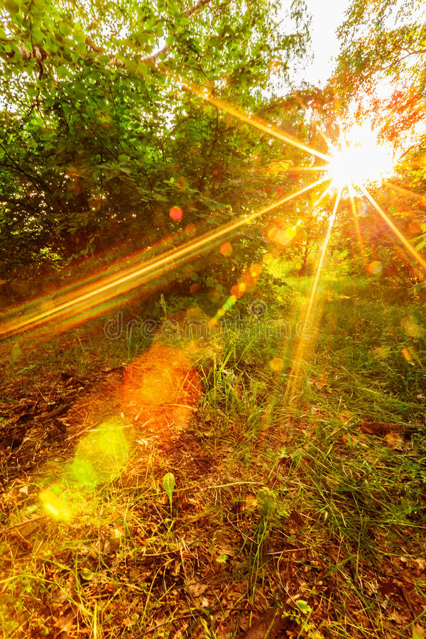 Sunset sunshine in forest. Sunset sunshine through branches in spring forest royalty free stock image