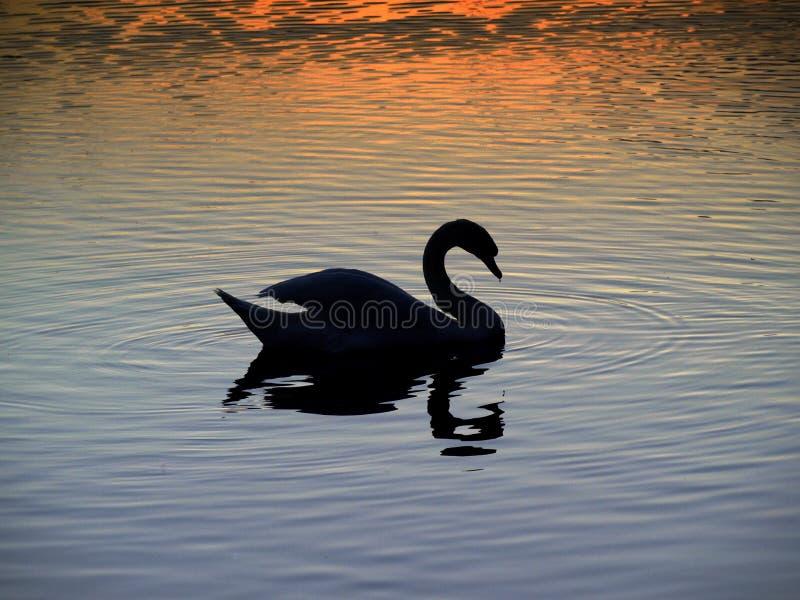 Sunset - swan stock photo