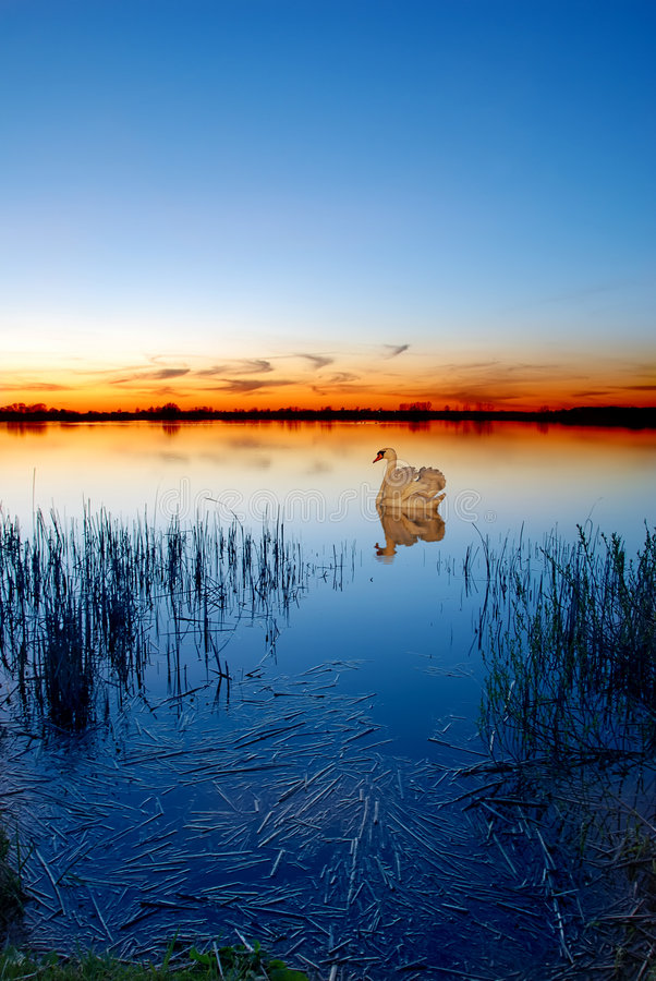 sunset swan lake obrazy royalty free
