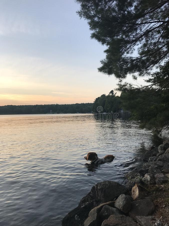 A sunset swim royalty free stock photo