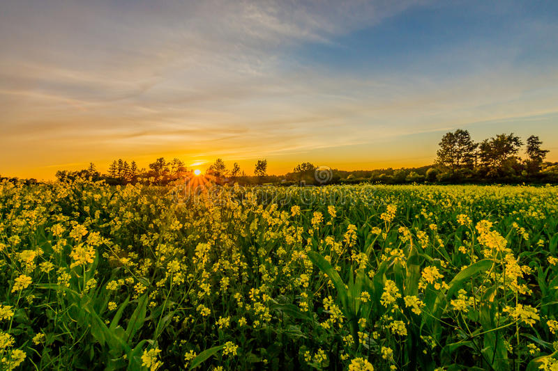 Sunset in Skaneateles Upstate New York. Finger lakes skaneateles conservation area upstate ny flowers corn field syracuse CNY water new york serene flowerbed royalty free stock photos