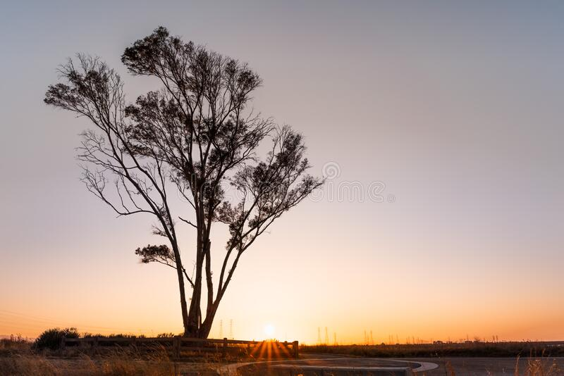 Sunset view of Eucalyptus tree growing on the shores of San Francisco Bay Area; California royalty free stock photos