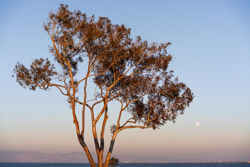 Sunset view of Eucalyptus tree growing on the shores of San Francisco Bay Area; full moon visible in the clear blue sky; stock image