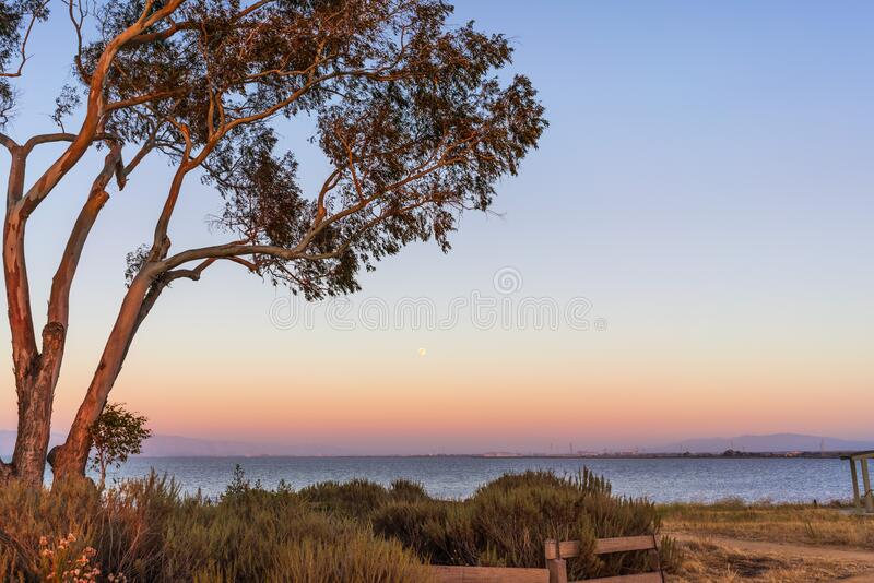 Sunset view of Eucalyptus tree growing on the shores of San Francisco Bay Area; full moon visible in the clear blue sky; stock photography