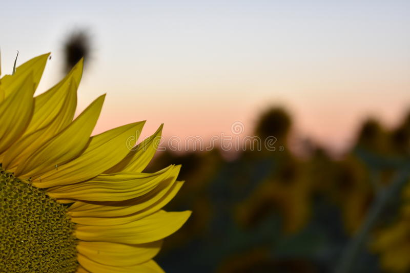 Sunset. A view of the sunset over sunflower petals royalty free stock images