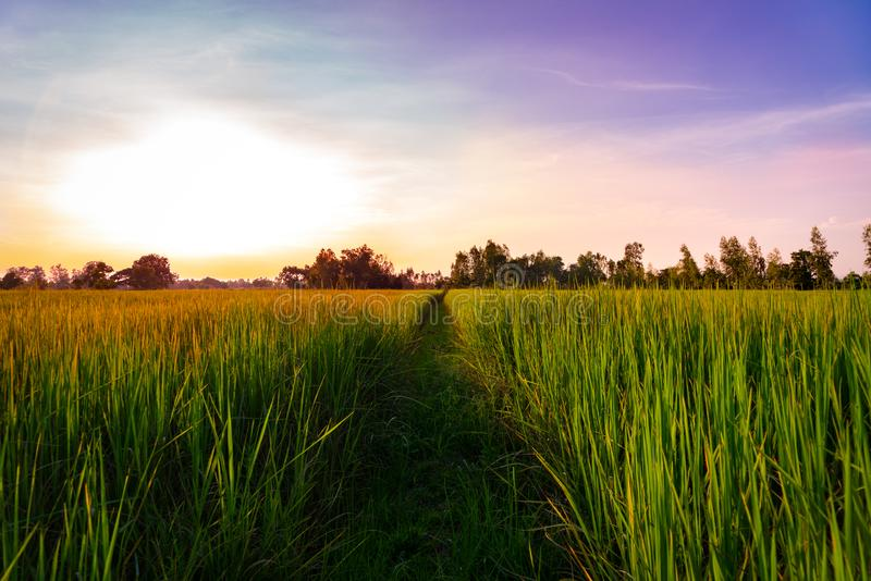 Sunset view of rice paddy field rural of Thailand. Nature composition stock photography