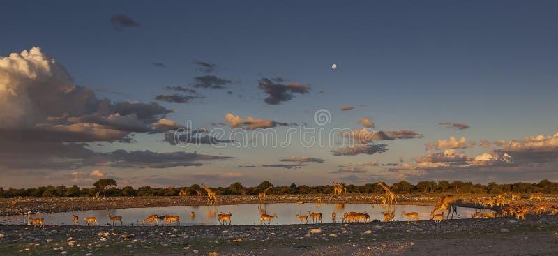 Sunset at the waterhole in Etosha National Park. Sunset waterhole scene with Giraffes, Zebras and Anthelopes, Etosha National Park, Namibia, Africa royalty free stock image