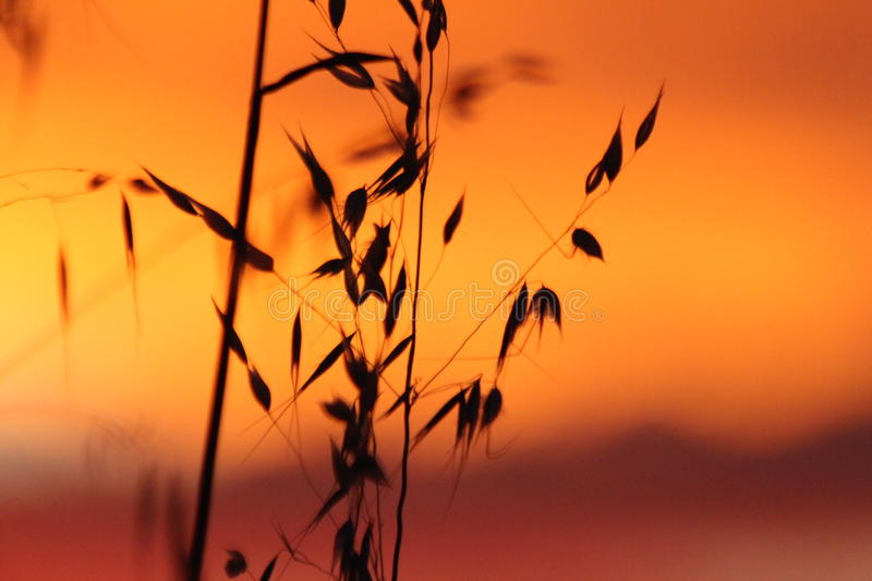 Sunset on Wheat Crop. Wheat is the major winter crop grown in Australia with sowing starting in autumn and harvesting, depending on seasonal conditions stock photography