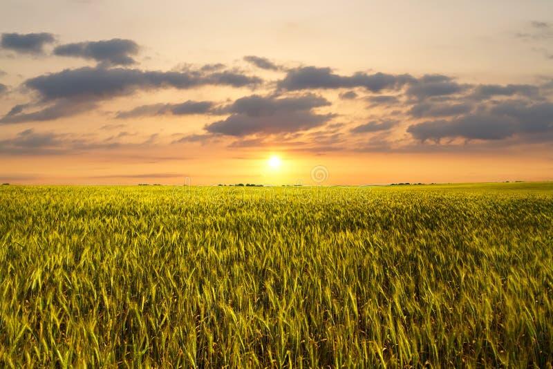 Download Sunset on wheat field stock photo. Image of sunlight - 15195426