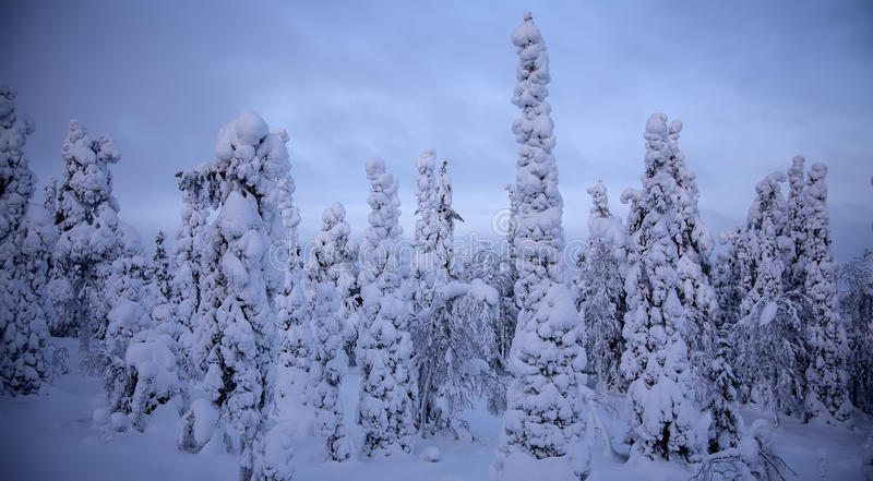 Sunset in winter forest. Night forest under snow in winter at Finland after snowfall royalty free stock photography