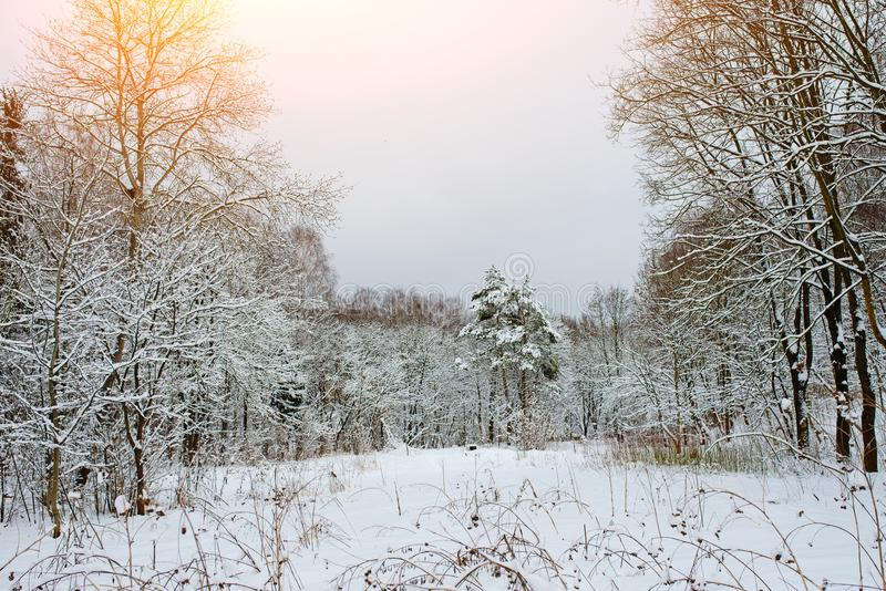Sunset in the wood between the trees strains in winter period royalty free stock image