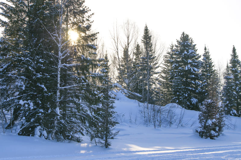 Sunset in the wood in the winter in Russia Siberia stock image