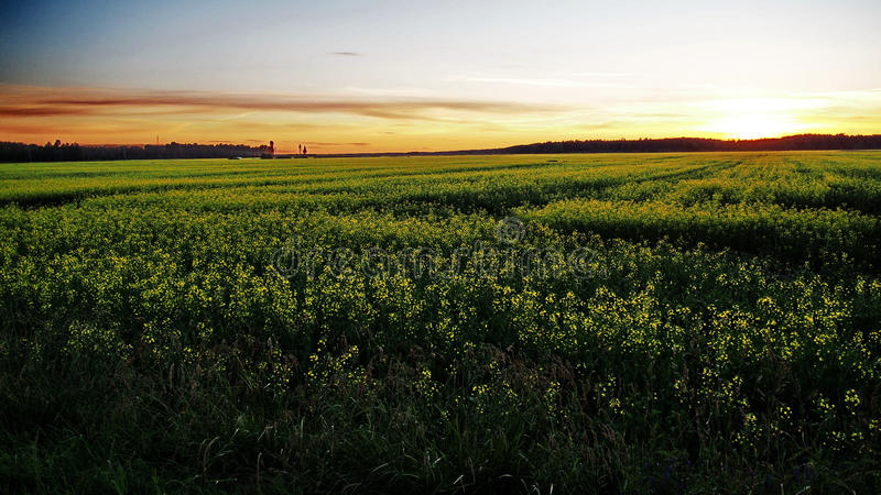 Sunset yellow field and orange sky royalty free stock image