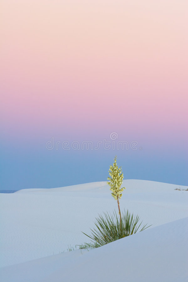 Sunset Yucca, vertical royalty free stock photo