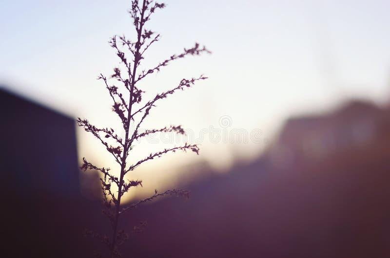 Sunsetting op Tarwe stock foto's