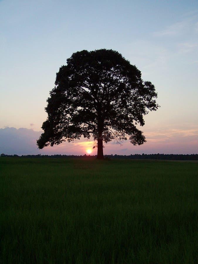 Sunsettree Стоковые Изображения