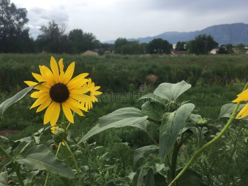 Sunsflower obraz stock