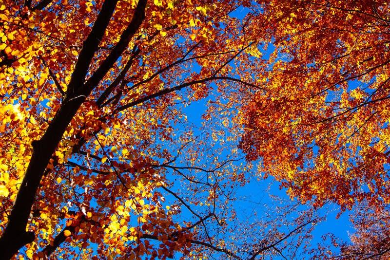 Sunshi della foresta di alba delle foglie di autunno di carpathians delle montagne della natura immagine stock libera da diritti