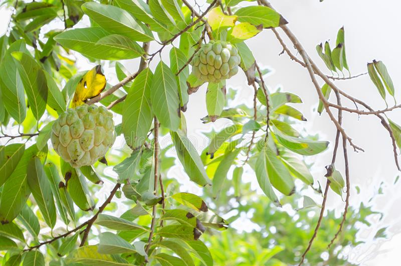 Sunshine On Annoma Spuamosa Sweetsop. Two pale green color Annoma squamosa, also known as sweetsop, and sugar-apple suspended by stems from green leafy branches royalty free stock images